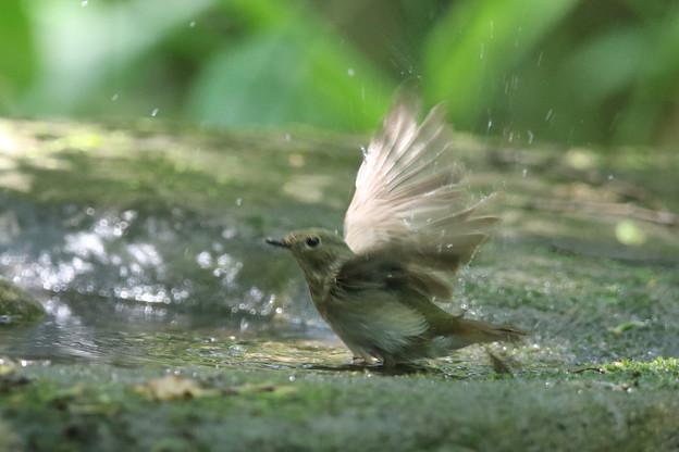 180511-8オオルリ♀の水浴び