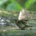 写真: 180511-8オオルリ♀の水浴び