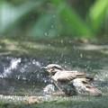 写真: 180511-10オオルリ♀の水浴び