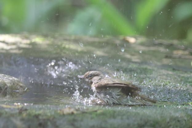 180511-11オオルリ♀の水浴び