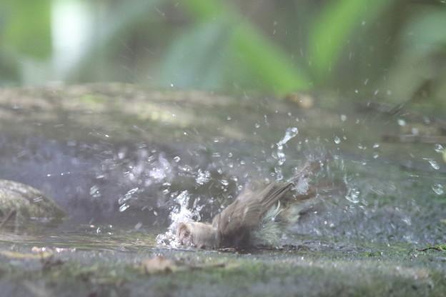 180511-12オオルリ♀の水浴び