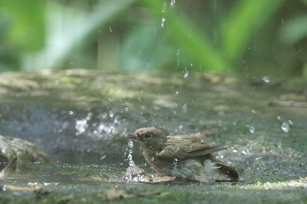 180511-13オオルリ♀の水浴び