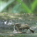 写真: 180511-13オオルリ♀の水浴び