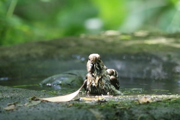 180511-15コゲラの水浴び