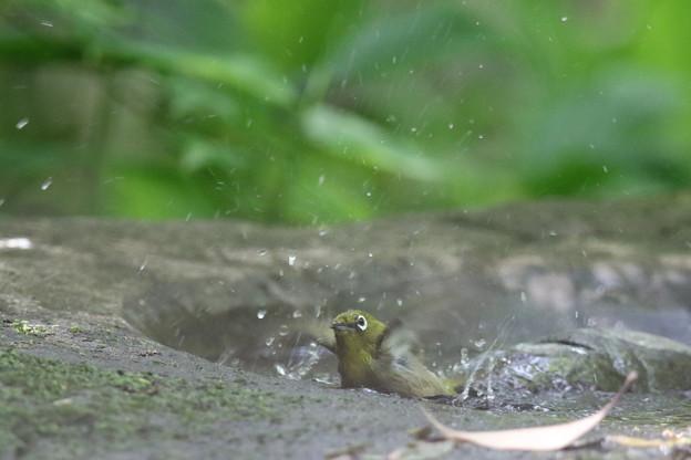 180511-18メジロの水浴び