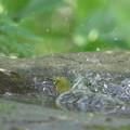 写真: 180512-3メジロの水浴び