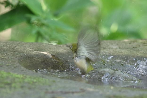180512-4メジロの水浴び