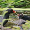 写真: 私の野鳥図鑑(蔵出し)・150528バンの給餌