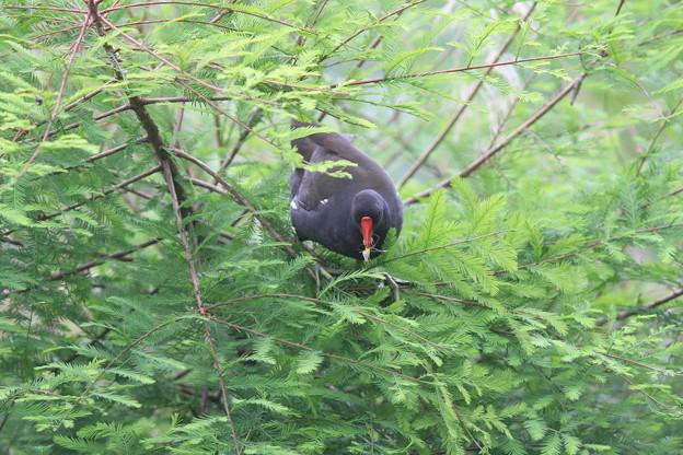 私の野鳥図鑑(蔵出し)・150529木に登って虫を捕ったバン
