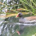 写真: 私の野鳥図鑑(蔵出し)・150529幼鳥に餌を運ぶバン