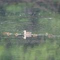 写真: 180515-2カルガモと7羽の幼鳥