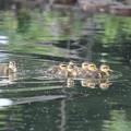 写真: 180515-3カルガモの7羽の幼鳥