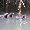 写真: 私の野鳥図鑑(蔵出し)・150530バンの幼鳥
