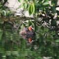 写真: 180516-3カイツブリ