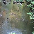 180527-10川を下るカルガモ一家
