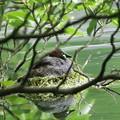 180528-2早く卵を孵してね・カイツブリ
