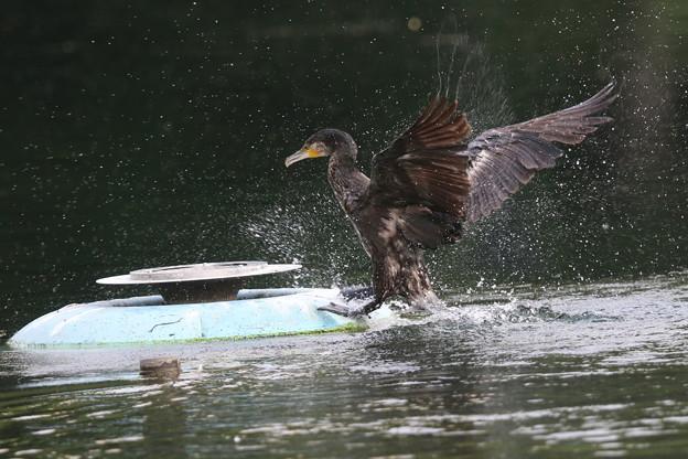 写真: 180602-3カワウが噴水台に上がるまで(2/4)