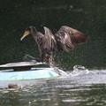 写真: 180602-4カワウが噴水台に上がるまで(3/4)