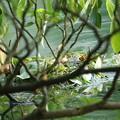 写真: 180603-1カイツブリの巣
