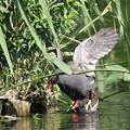 写真: 私の野鳥図鑑(蔵出し)・160603バンの交尾