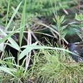 写真: 私の野鳥図鑑(蔵出し)・160606バンの巣に近づくゴイサギ