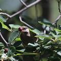 写真: 180603-9ムクドリとジューンベリーの実(2/3)