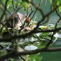 写真: 180604-1カイツブリの巣