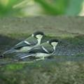写真: 180604-7二羽のシジュウカラの幼鳥