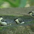 写真: 180604-8三羽のシジュウカラの幼鳥