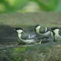 写真: 180604-9三羽のシジュウカラの幼鳥