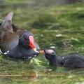 写真: 私の野鳥図鑑(蔵出し)・160701-BQ2A2160バンの給餌