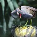 写真: 私の野鳥図鑑(蔵出し)・160710-1お母さんありがとう・バン