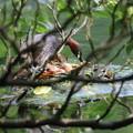 写真: 180607-11卵の世話をするカイツブリ