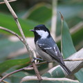 私の野鳥図鑑(蔵出し)・101230ヒガラ