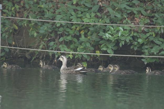 180608-3カルガモの母親と7羽の幼鳥