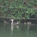 写真: 180608-3カルガモの母親と7羽の幼鳥