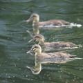 写真: 180608-5カルガモの幼鳥
