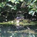 Photos: 180608-8対岸から見たカイツブリの巣