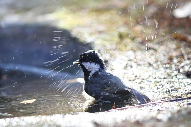 私の野鳥図鑑(蔵出し)・121225ヒガラの水浴び