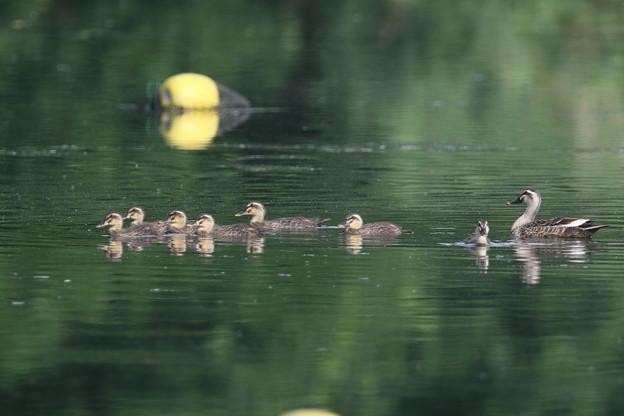 180609-6カルガモの母親と7羽の幼鳥