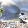 私の野鳥図鑑(蔵出し)・121225-IMG_7616メジロを威嚇するヒガラ