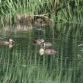 写真: 180609-11カルガモの幼鳥
