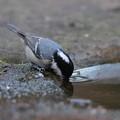 写真: 私の野鳥図鑑(蔵出し)・121226-IMG_8436水を飲むヒガラ