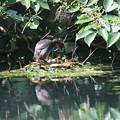写真: 180609-21対岸からのカイツブリの巣