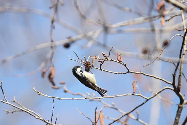 私の野鳥図鑑(蔵出し)・130124ヒガラ