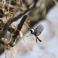 写真: 私の野鳥図鑑(蔵出し)・130125ヒガラ