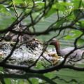 180612-1枝が邪魔・カイツブリの巣