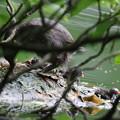 180612-10カイツブリの巣・三羽孵っていました