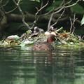 180612-17カイツブリの巣・卵2個と三羽の雛