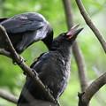 180627-4親に背中を撫でてもらうカラスの幼鳥